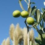 Olives du jardin (photo)